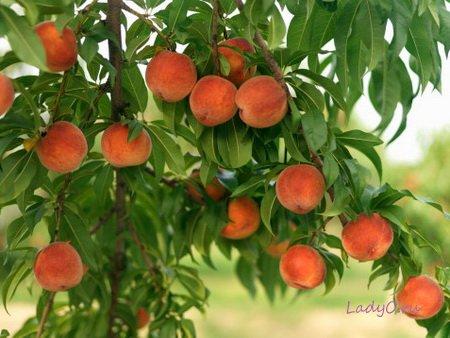 Персик от стресса
